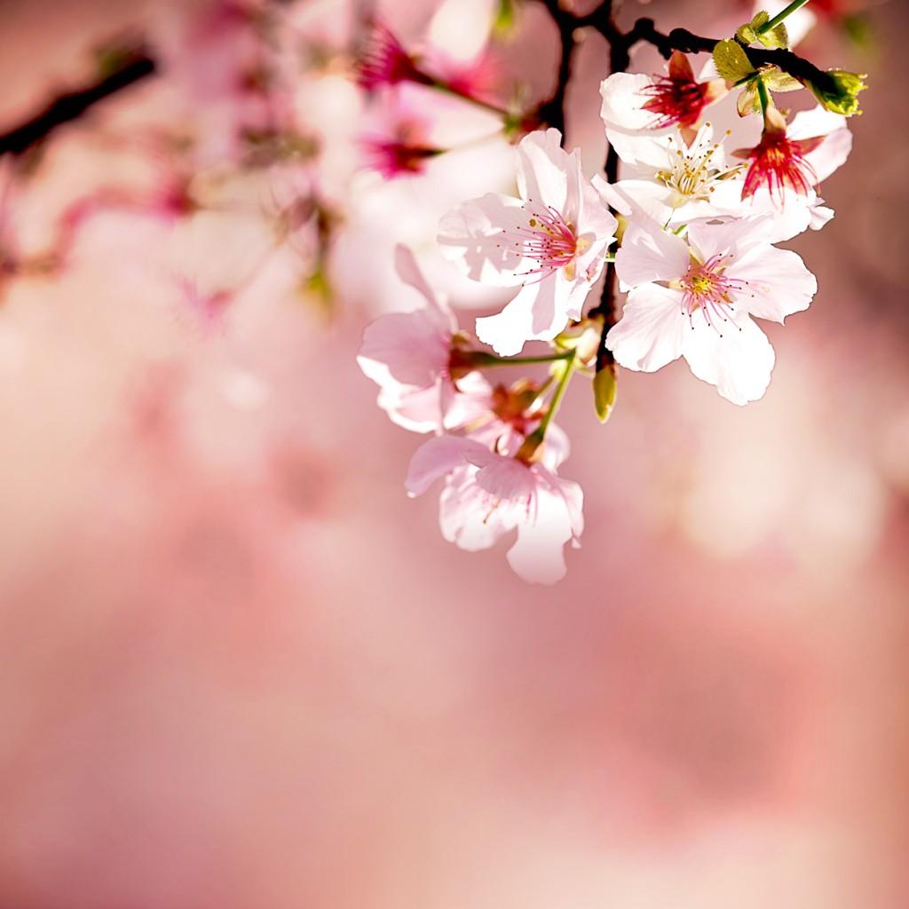 Island Trader Vacations Reviews 2 Popular Cherry Blossom Festivals